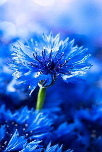21 Gorgeous Blue Flowers for Your Garden #blueflowerwallpaper