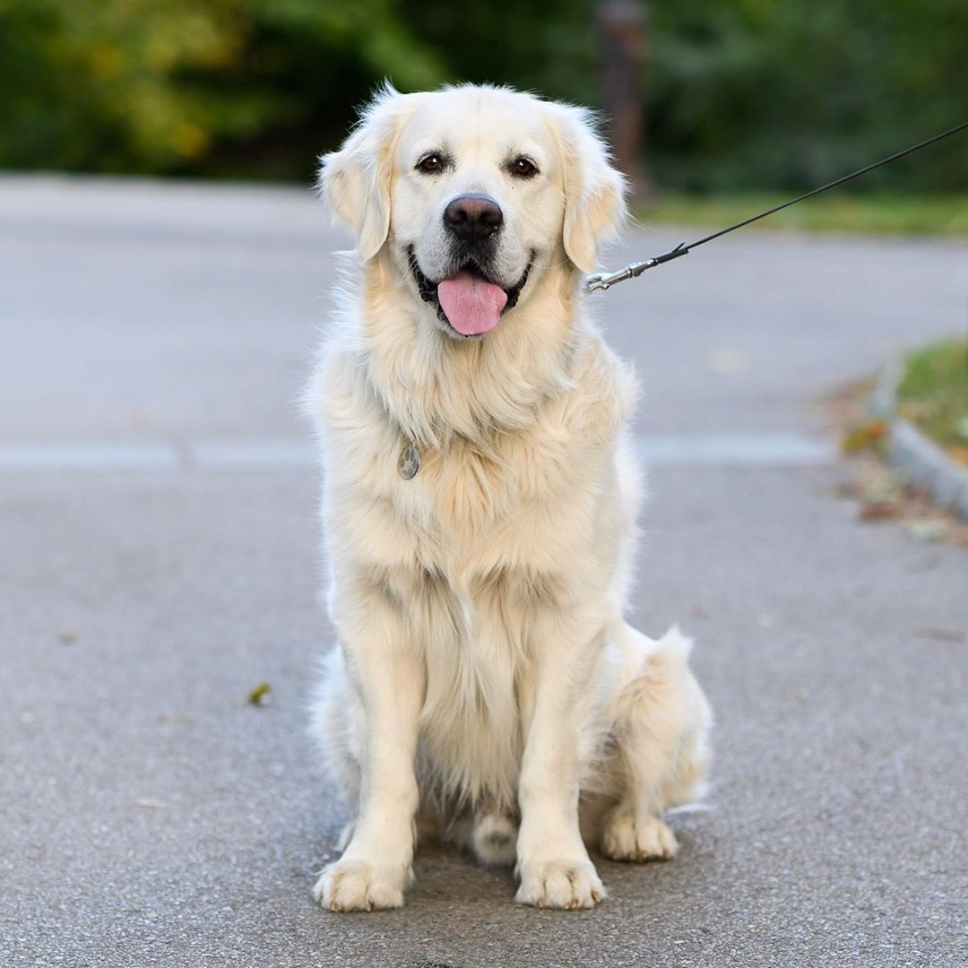 The Dogist On Instagram Dakota Golden Retriever 3 Y O