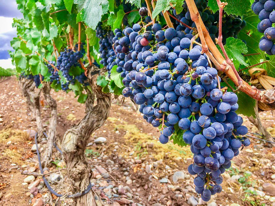 Top 7 Must Try Wines In Argentina Mendoza Argentina Growing Grapes