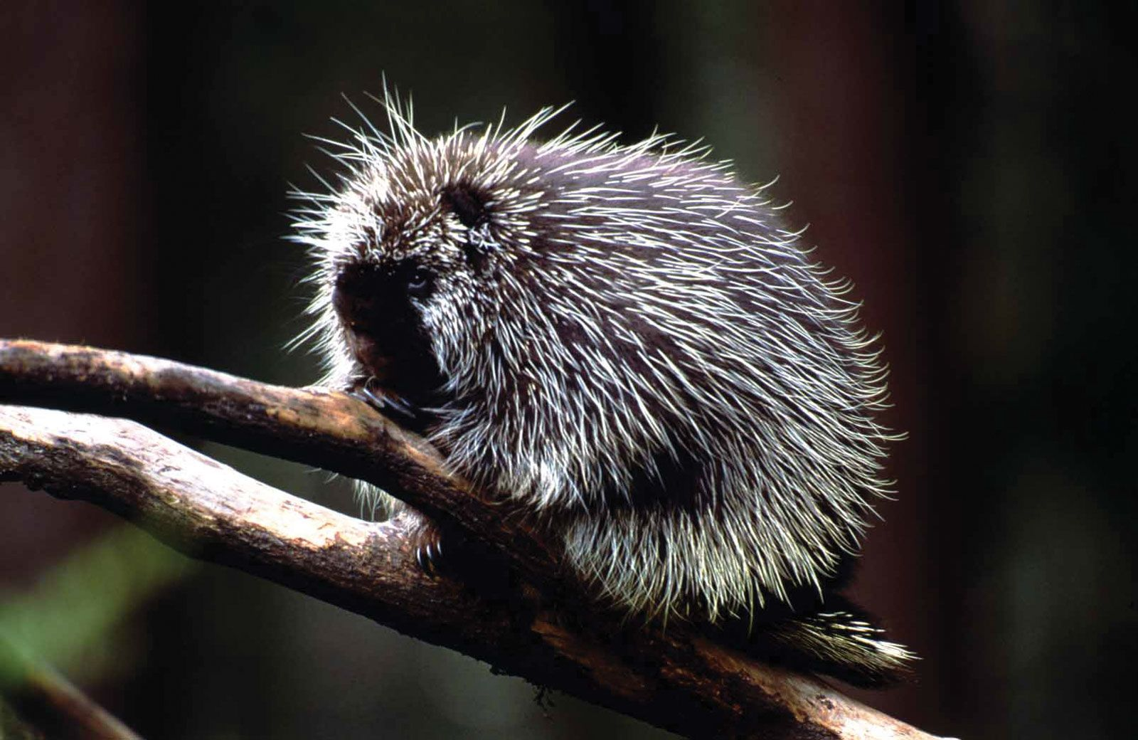 North American Porcupine (With images) Porcupine