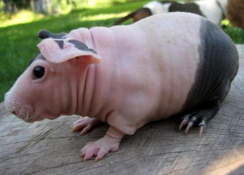 Hairless Guinea Pig Hairless Guinea Pig GUINEA PIGS - Ludwig the bald guinea pig is winning the internets hearts