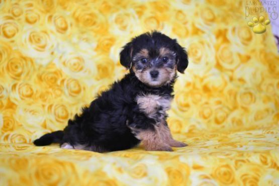 Sue YorkChon Puppy for Sale in Millersburg, OH
