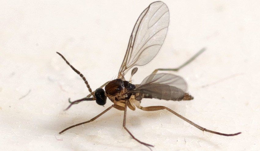 How To Get Rid Of Fungus Gnats Knats In Plants Insects Flying
