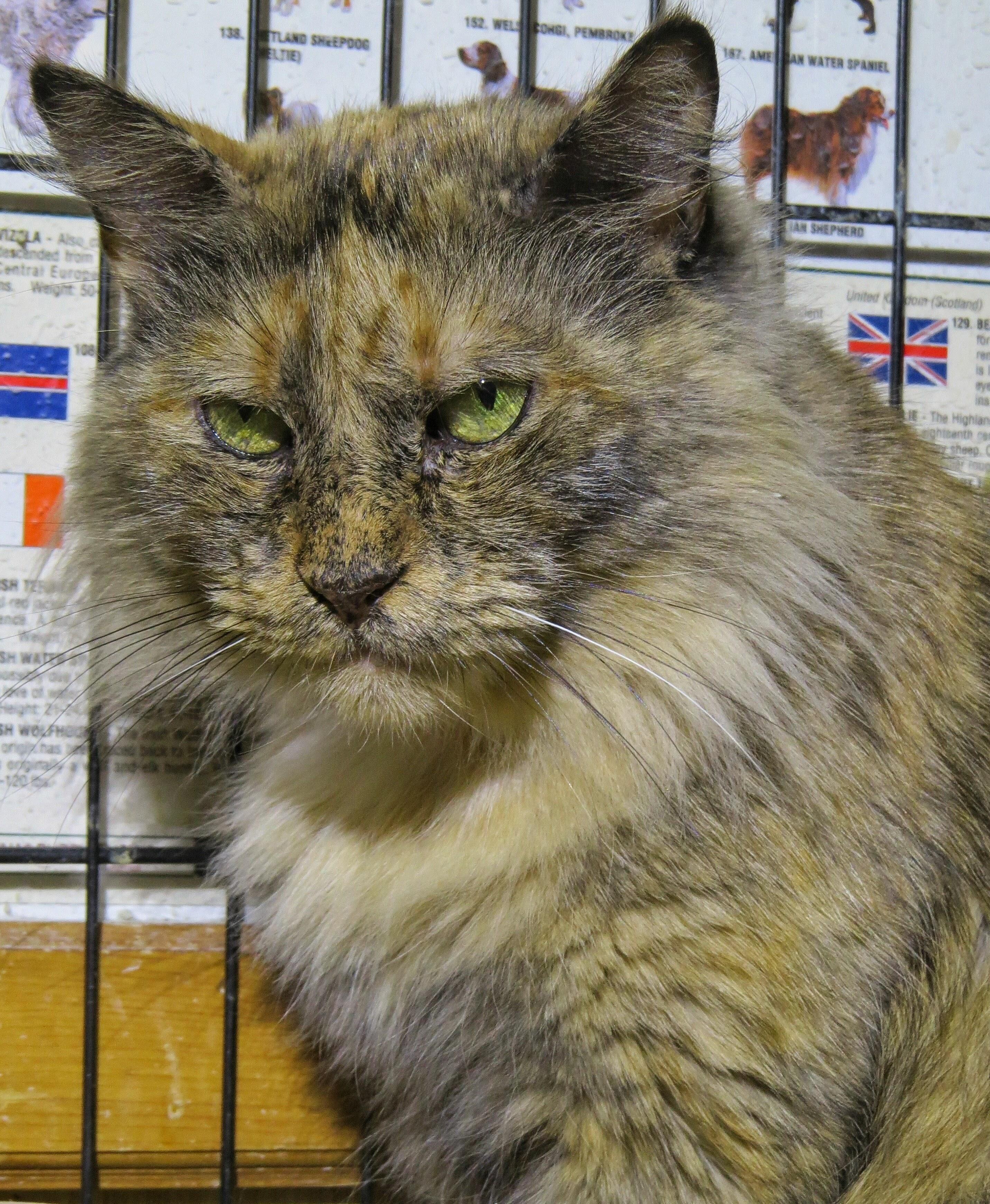 Adopt 5-562 Monique on Petfinder | West babylon, Cat ...