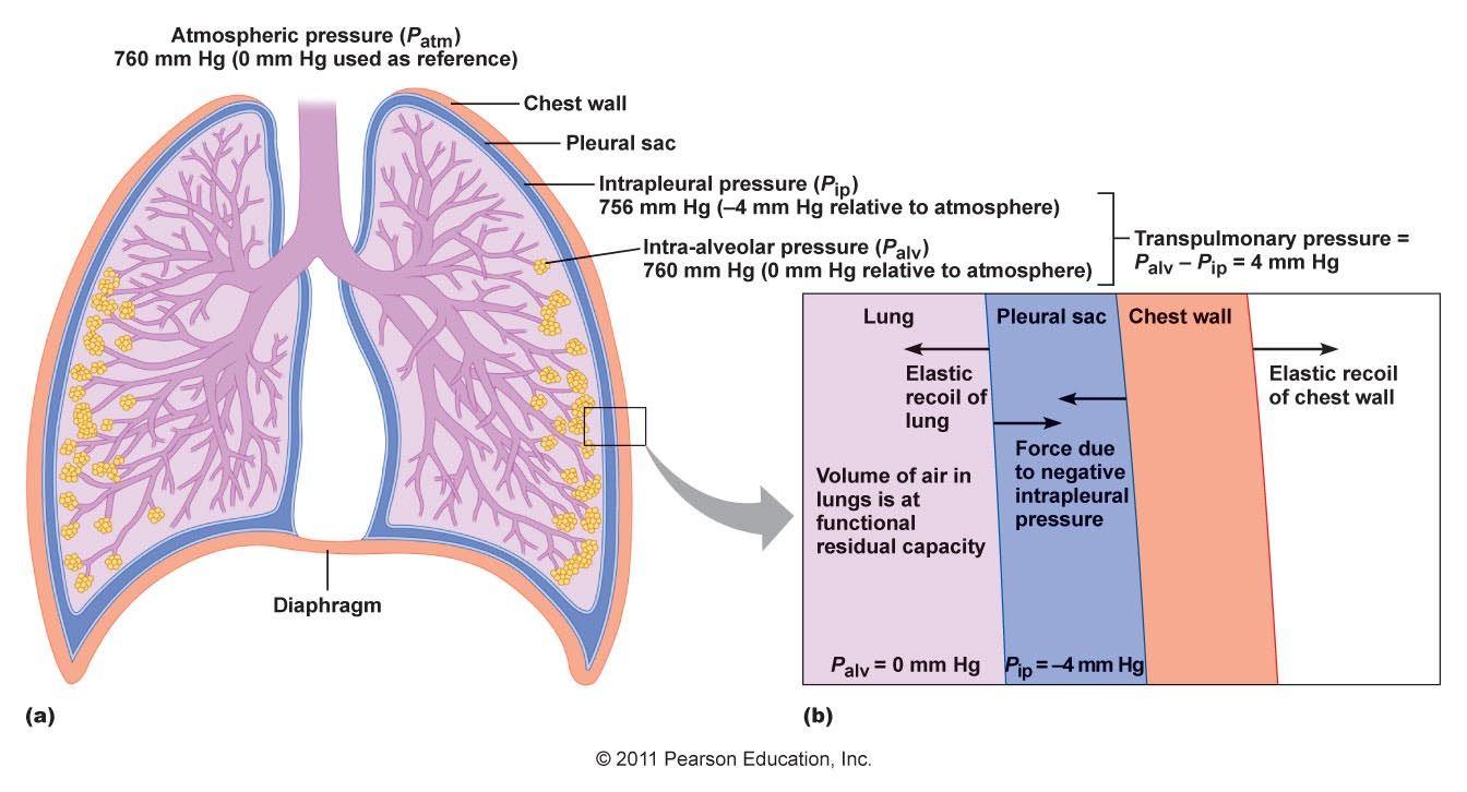 transpulmonary pressure | Chapter 16 - Respiratory System ...