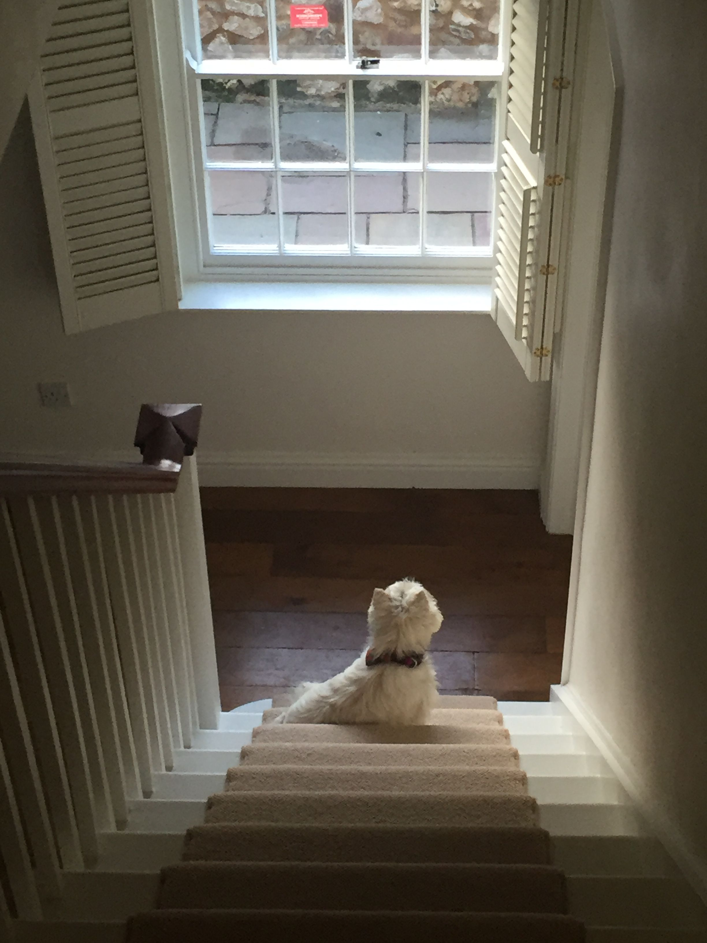 Betty waits patiently | West highland white terrier, White ...
