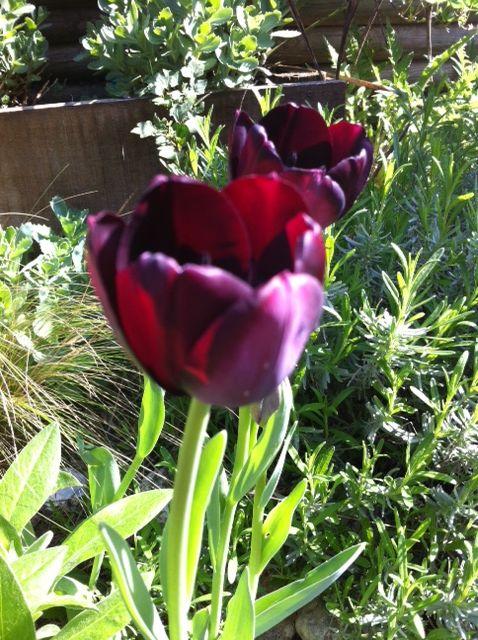 Tulipe Queen of night KLLM