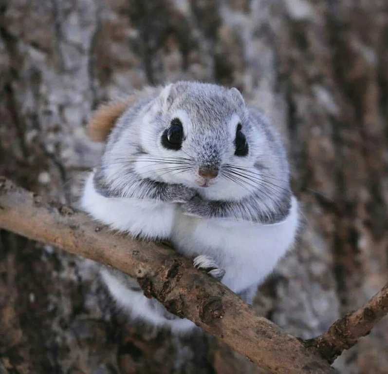 Japanese Dwarf Squirrels Looks Like They Made It Into Reality From A Disney Movie Pics In 2020 Cute Animals Cute Funny Animals Japanese Dwarf Flying Squirrel