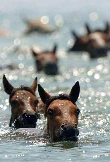 Wild Horses In Water!