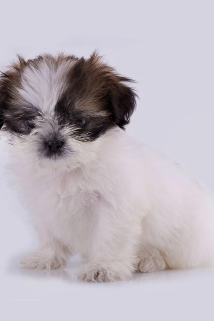 Shih Tzu Puppy Posing Isolated On White Background Shihtzu Shih Tzu Puppy Shih Tzu Puppies