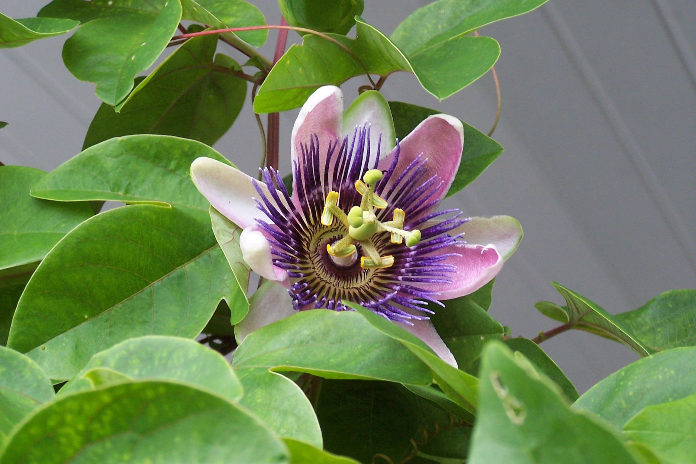 Passion flower vine planting this again fast growing beautiful