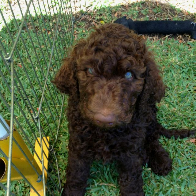 For Sale Levi Is A Brown Standard Labradoodle Puppy F1b They