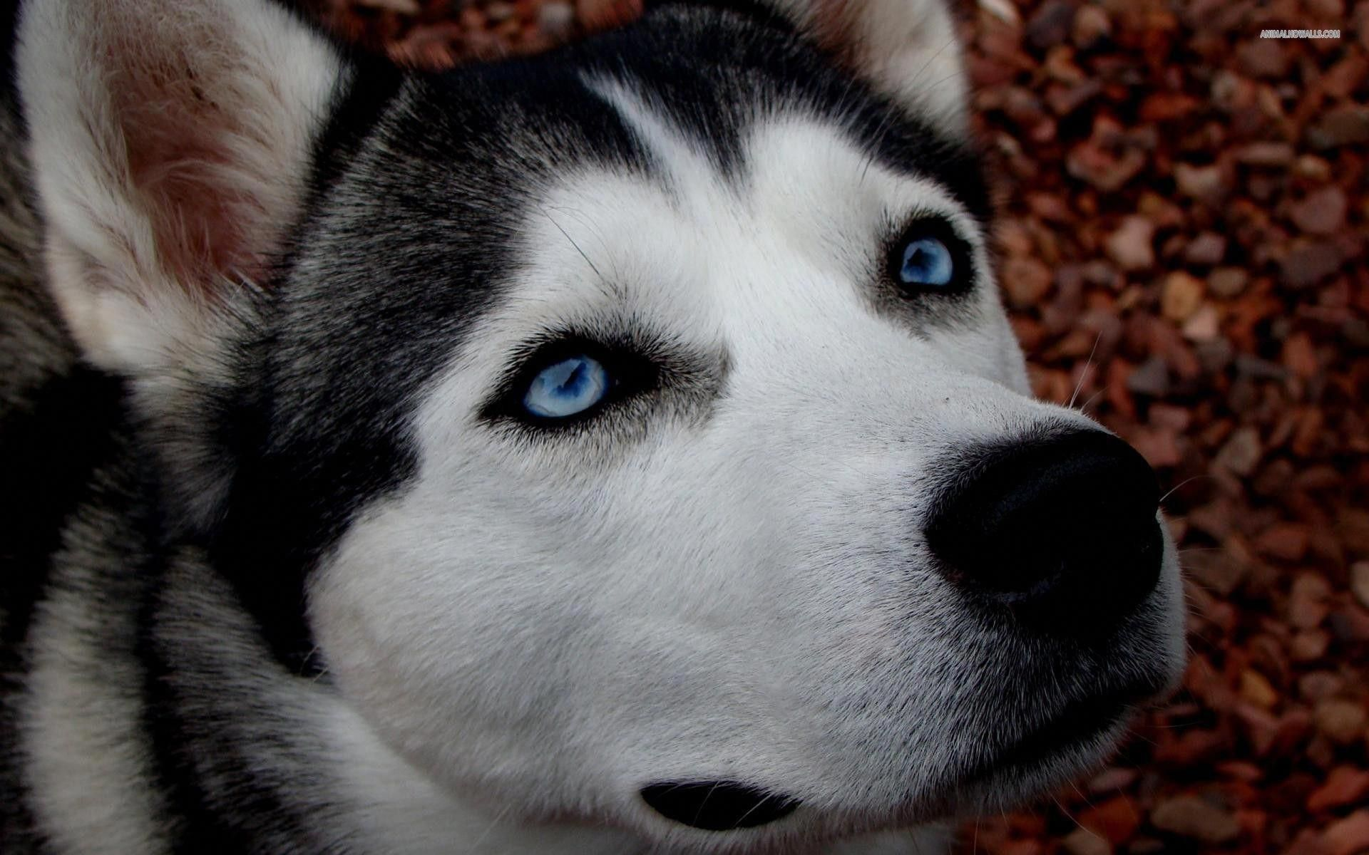 Outstanding Siberian Husky Detail Is Readily Available On Our