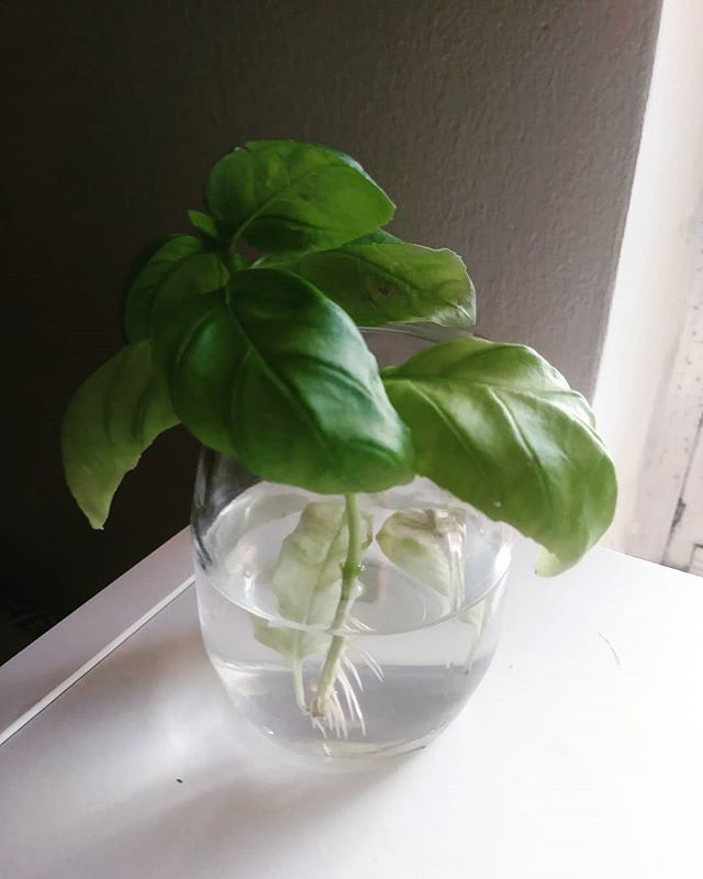 Basil cutting to root for new plant. #greenthumb #jerseygirl #buyonceplant4ever