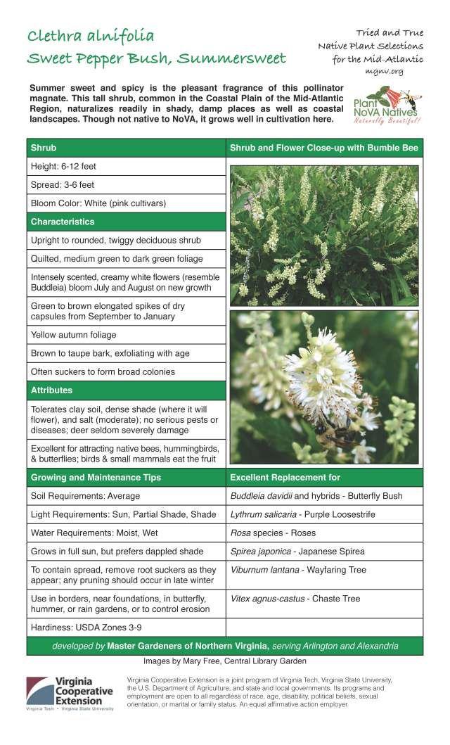 Mgnvorg Clethra Alnifolia Coastal Plain Coastal Landscape Native Plants