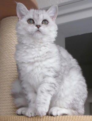 Chats Selkirk Rex Poil Court Et Poil Long Selkirk Rex Rex Cat Selkirk Rex Kittens