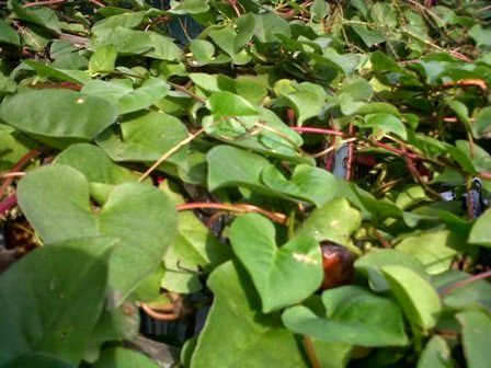 Tipscaraalami Com 6 Manfaat Daun Binahong Untuk Kesehatan Plant Leaves Plants Leaves