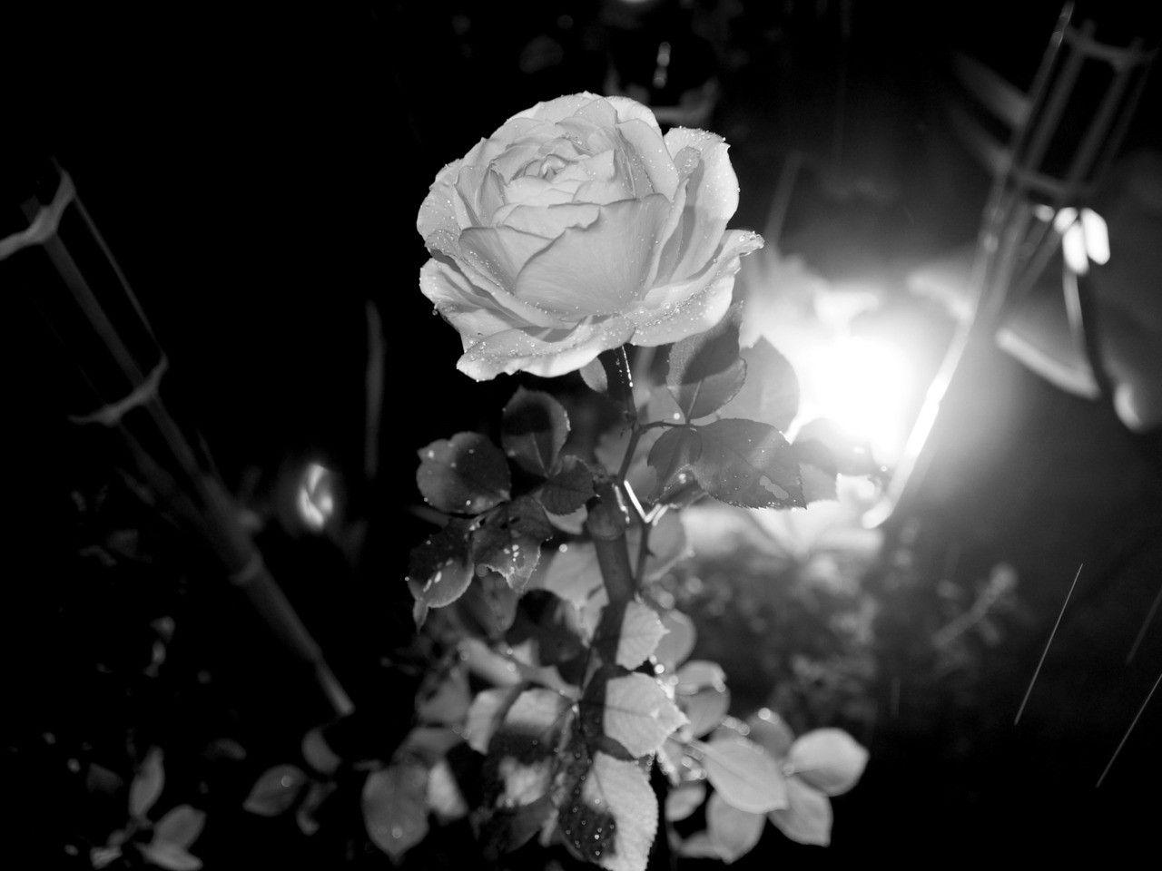 Light Dark White Rose Wallpaper Flower Nature Flowers Light Dark White Rose Wallpaper Flower Nature For Light In The Dark Rose Wallpaper Cell Phones For Sale