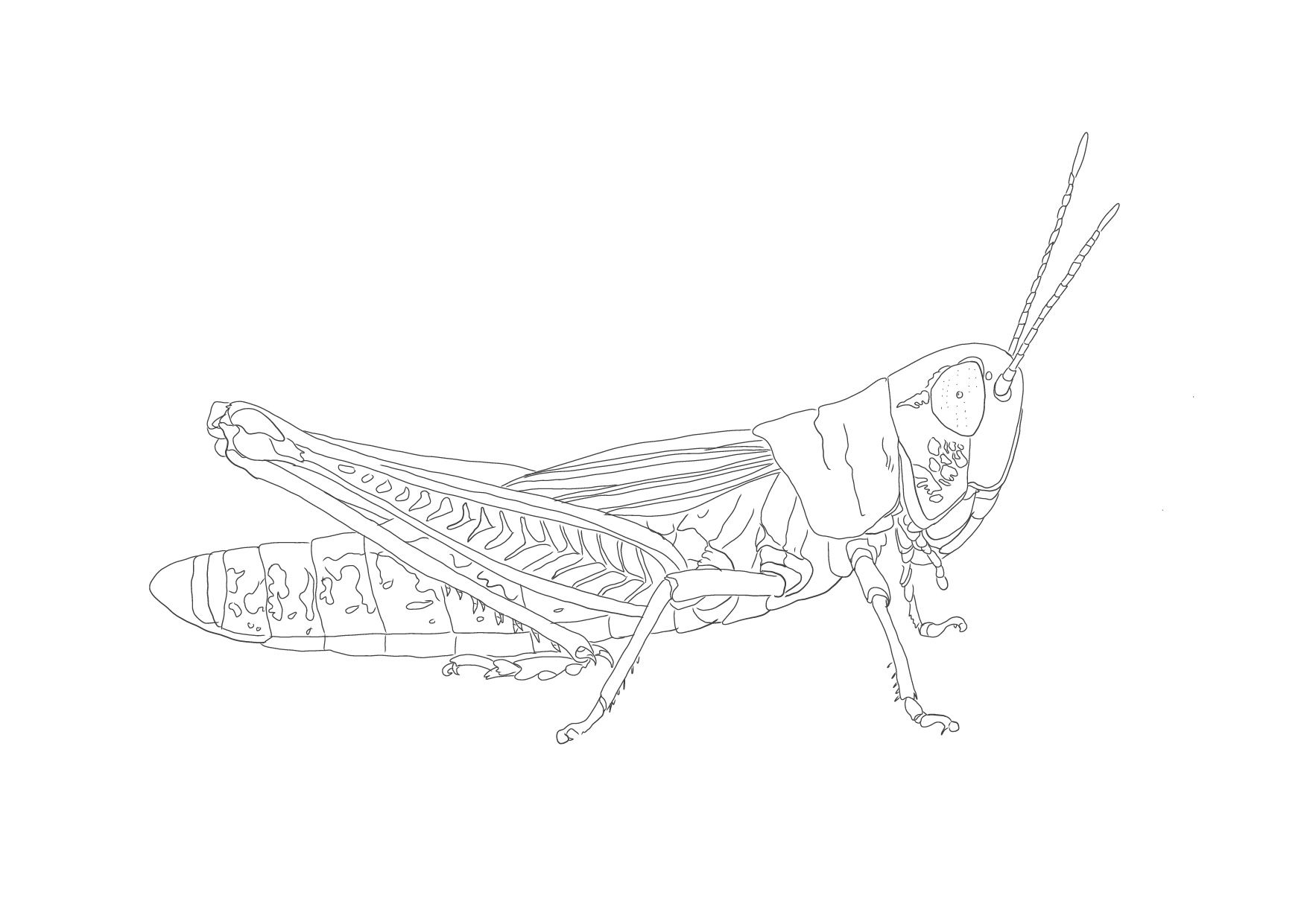 malmal grashüpfer  malvorlagen  malvorlagen malvorlagen