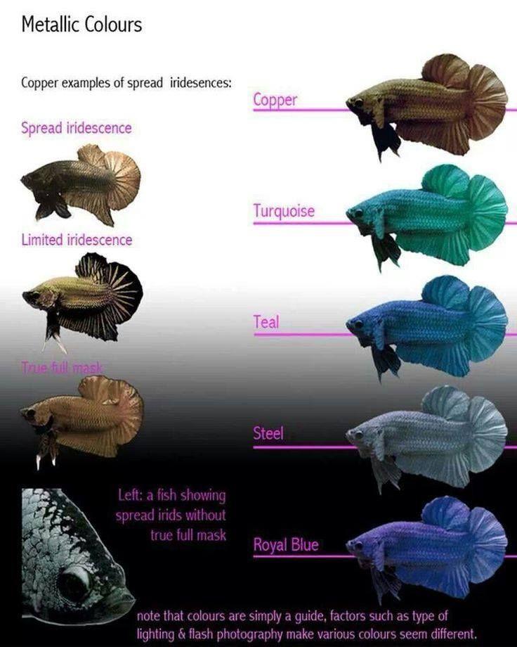Siamese Fighter Iridescence Chart Betta Fish Types Betta Fish Tank Betta Fish Care