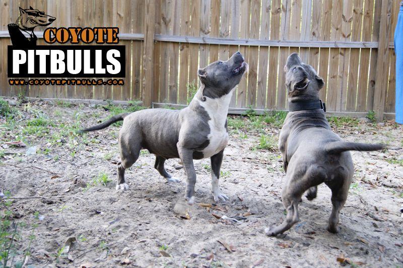 Blue Pitbull Amp American Bully Breeders In Florida Coyote