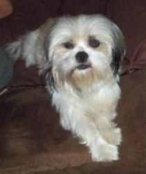 Adopt Missi On Lhasa Apso Dogs Lhasa