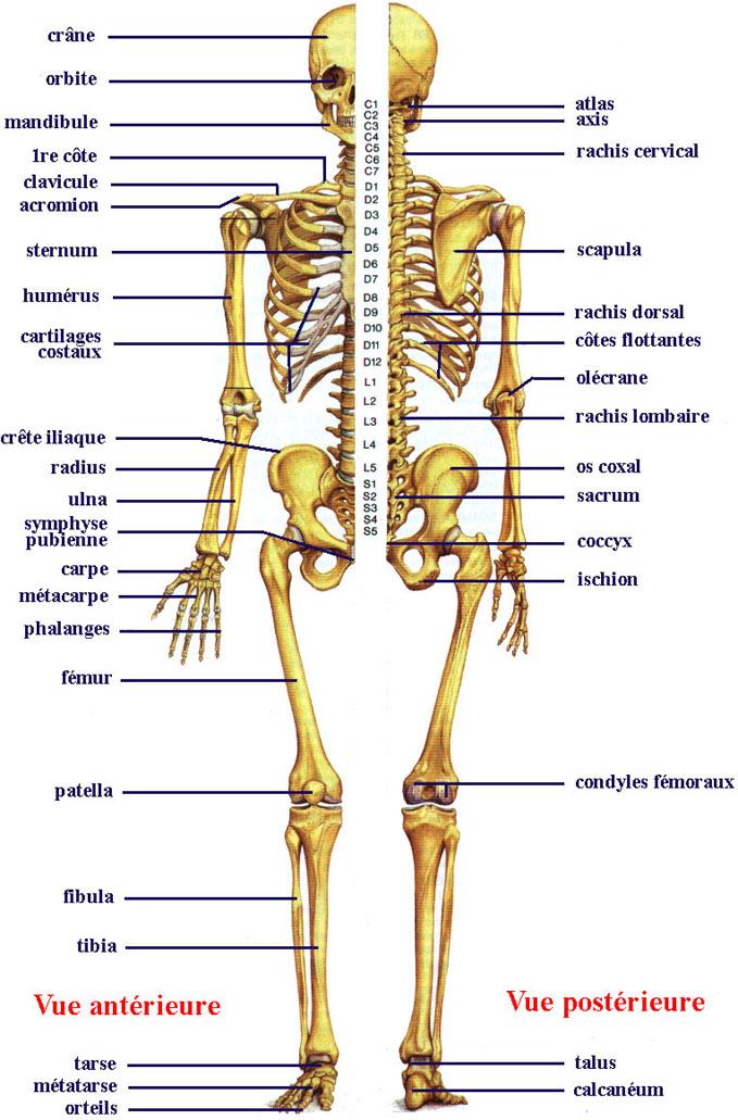 Planche 1. Le squelette humain. (source   Boutillier et Outrequin ... 09accb2822f
