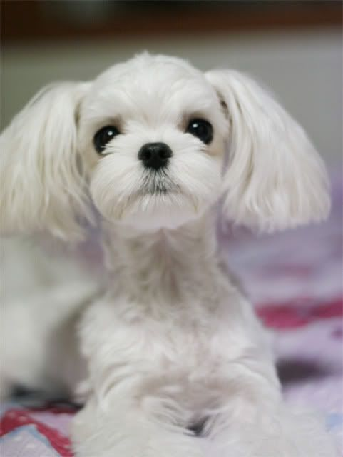Cutest Maltese Groom I Ve Ever Seen Maltese Haircut Maltese
