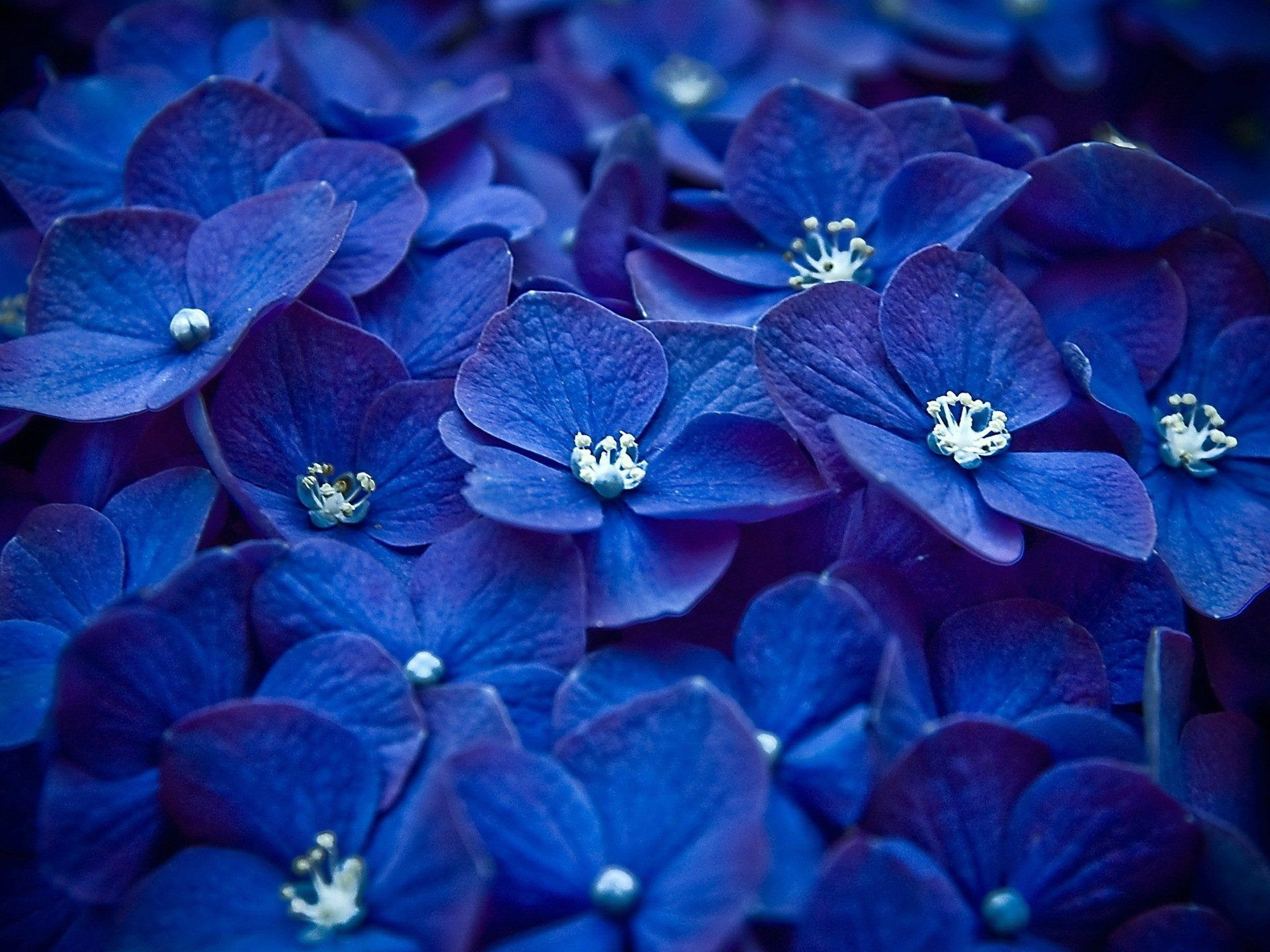 Красивые картинки голубые и синие цветы