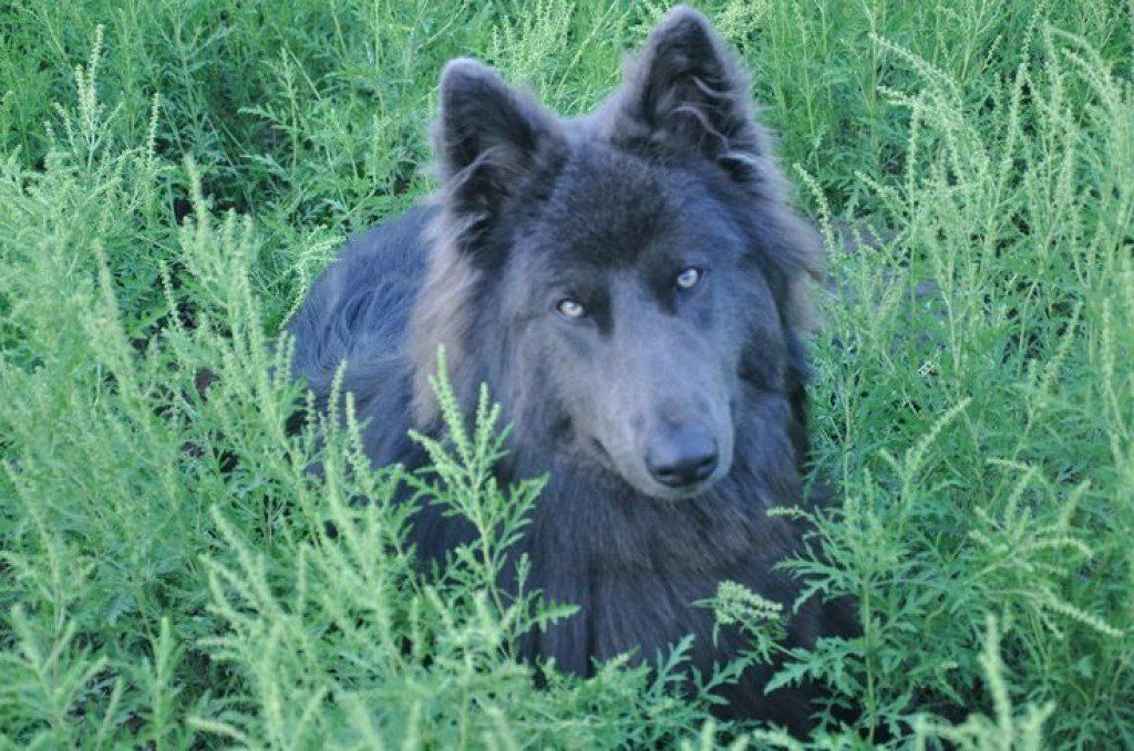 Blue Dog Breeds What Makes Them So Beautiful Blue Dog Breed