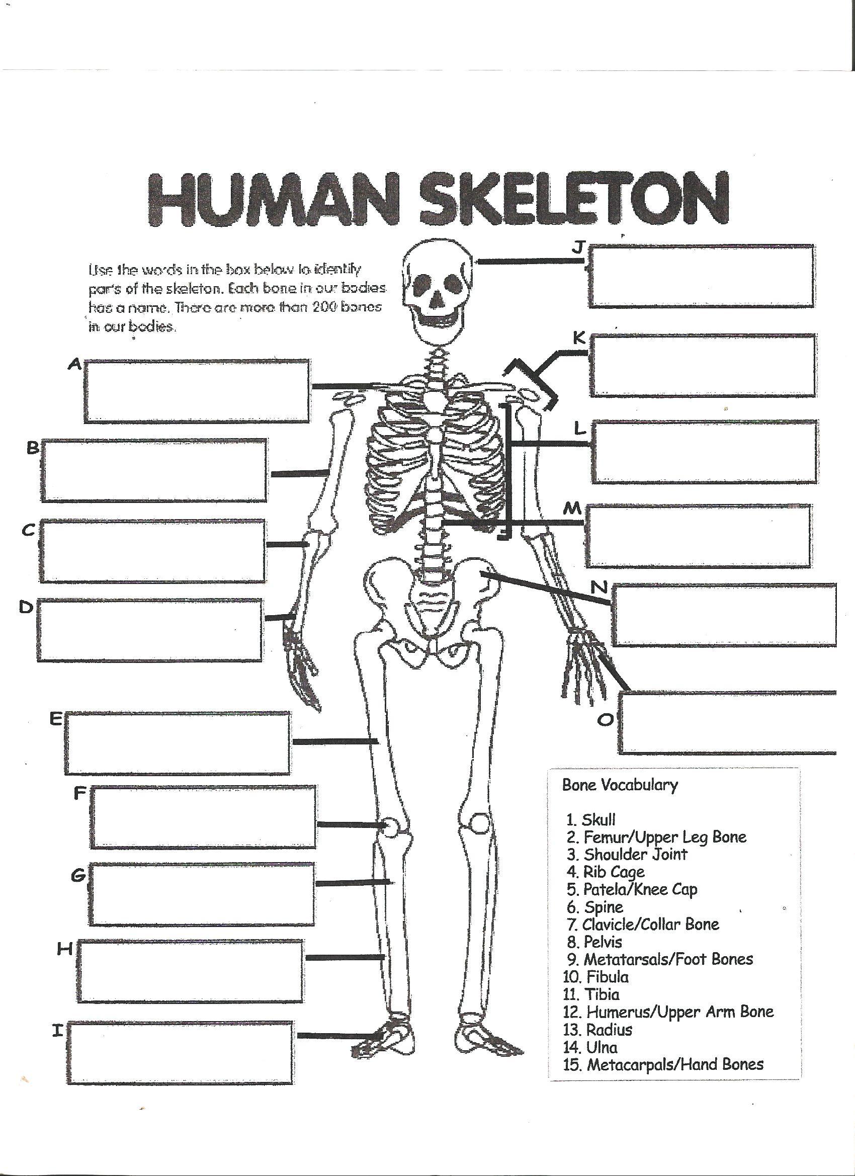 hight resolution of Digestive System Labeling Worksheet Answers Human skeleton worksheet    Skeletal system worksheet