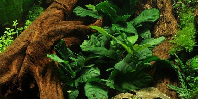 Anubias barteri var. coffeefolia - akvaarioon.fi