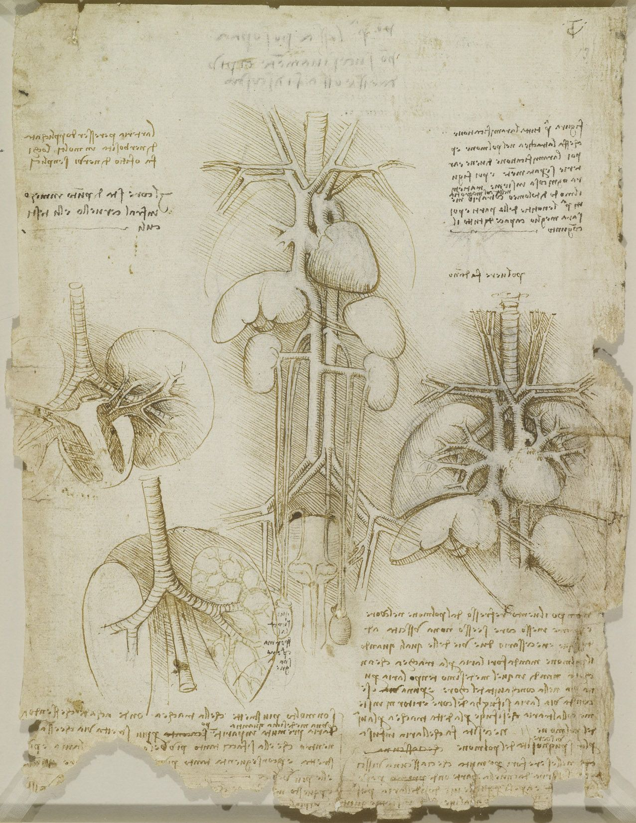 The heart, lungs and other organ Leonardo da Vinci (Vinci 1452 ...