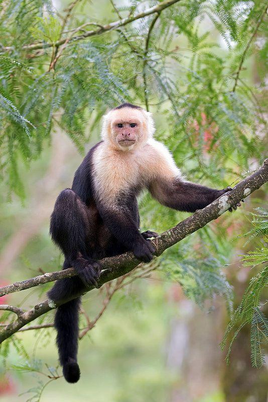 Capuchin Monkey Capuchin Monkey Monkey Photography Pet Monkey