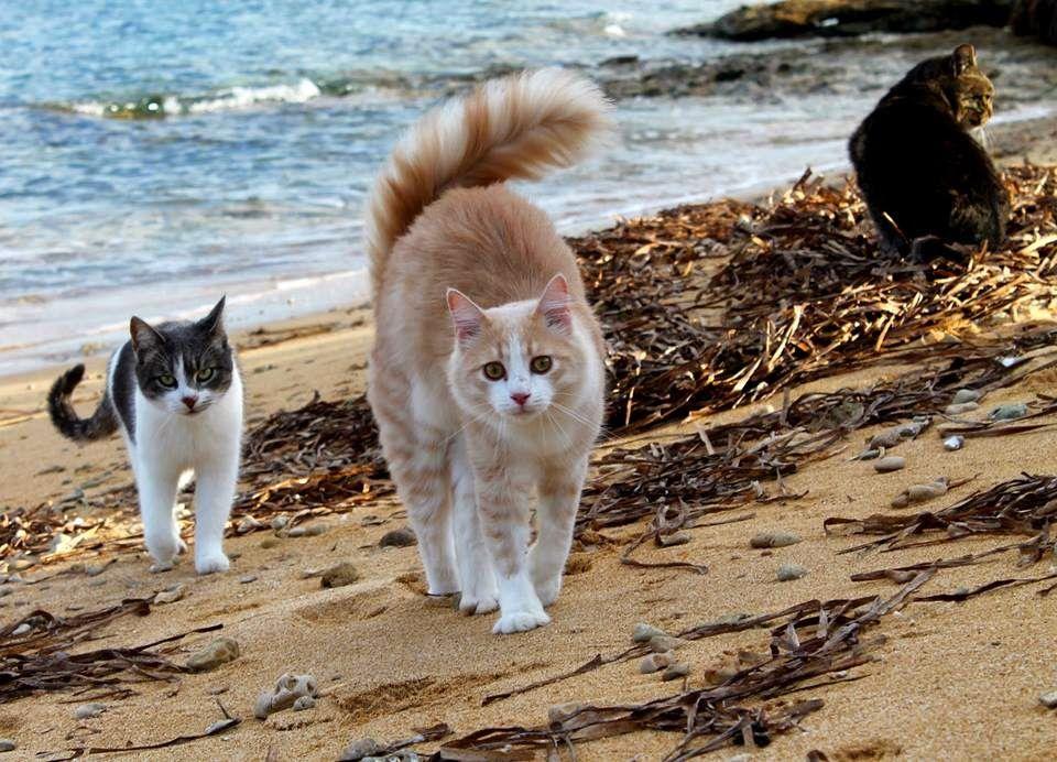 Existe un lugar en Italia donde hay mininos que aman ir a la playa, su territorio está junto al mar y este lugar es la isla Su Pallosu.