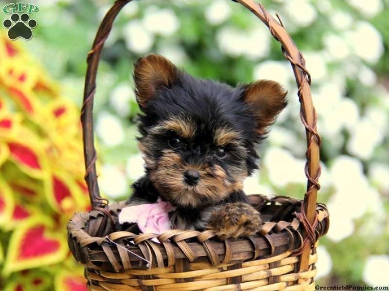 Valerie Yorkie Puppy For Sale In Narvon Pa Yorkie Puppy Yorkie Yorkie Puppy For Sale