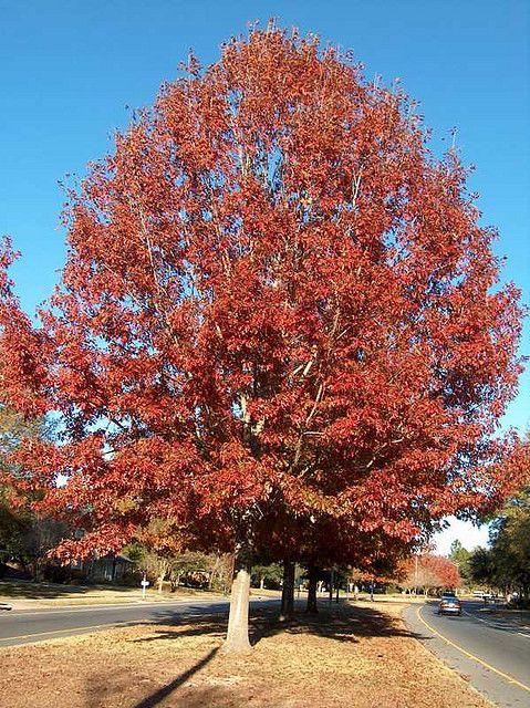 Quercus Shumardii Shumard Oak Schatten Spendende Baume Eiche Schnell Wachsende Baume
