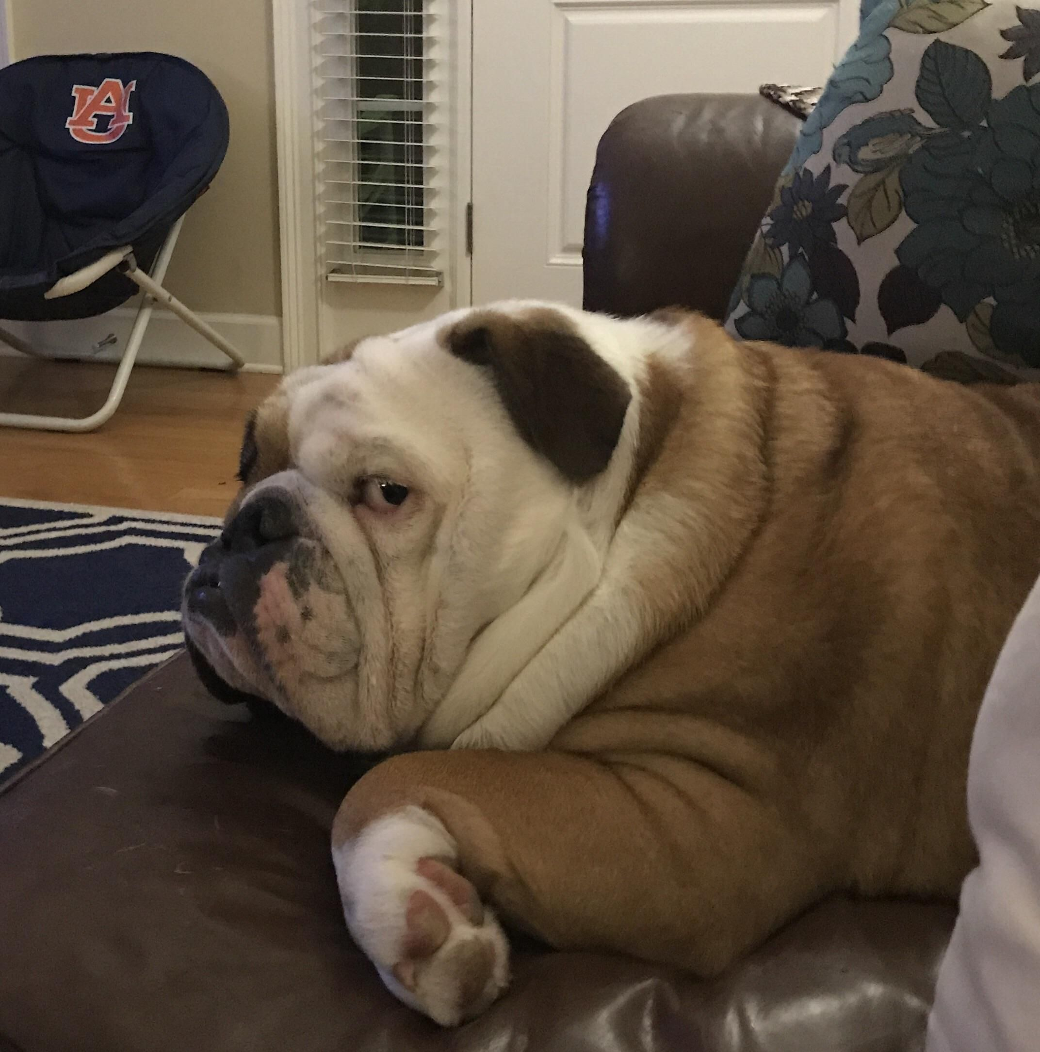 Pin By Shannon Connell On Evelyn S Bulldog Board Cute Bulldogs
