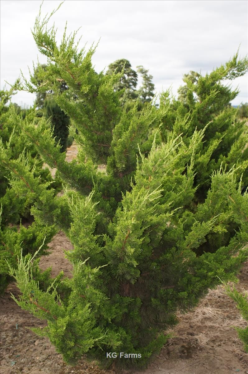 Juniperus Chinensis Torulosa Whole Nursery Supplies Plant Growers In Oregon
