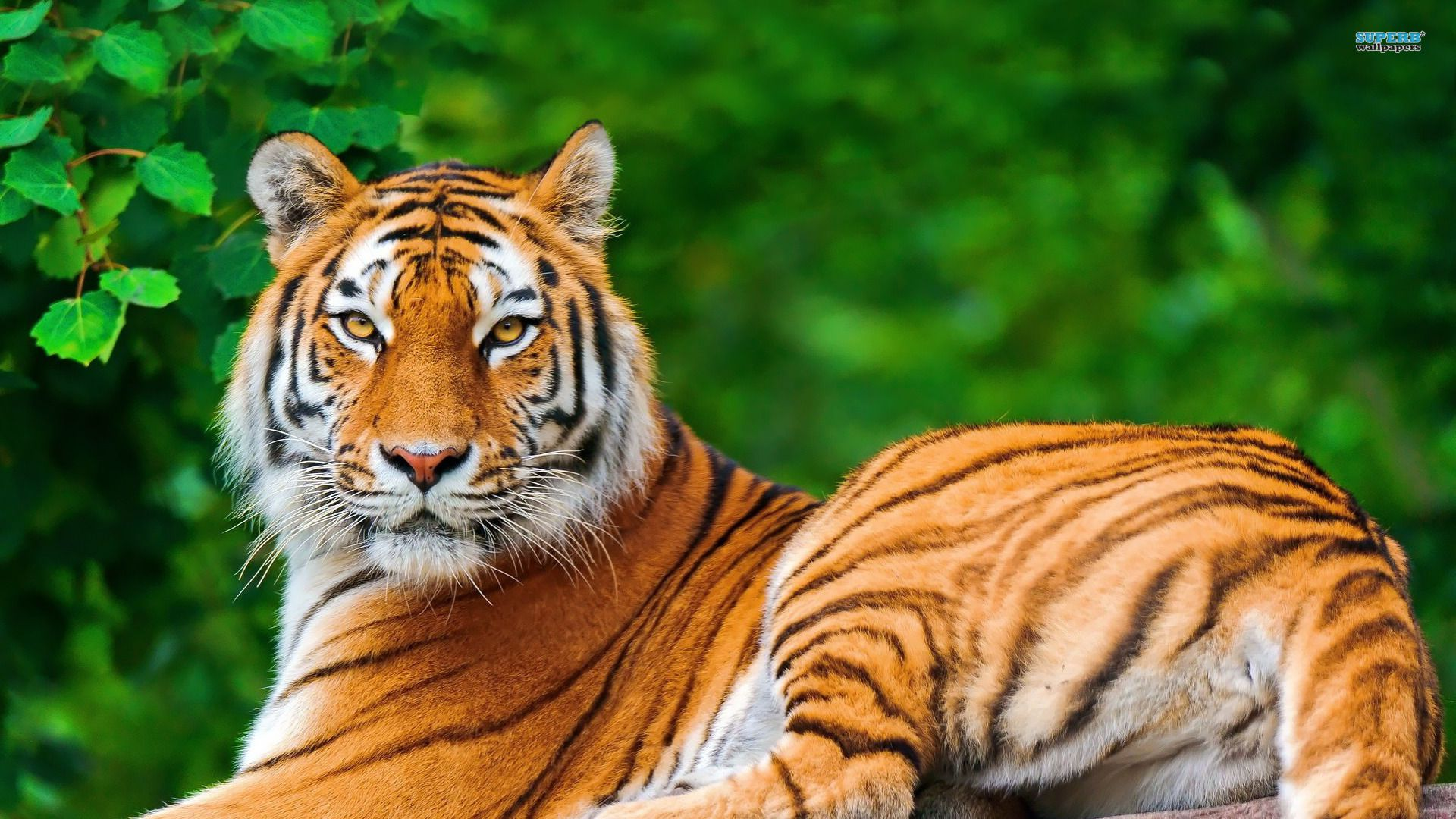 tiger animal wallpaper hd 8 for desktop background  | nature's