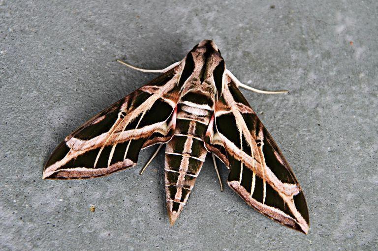 The Secrets Of The Sphinx Moth Moth Sphinx Hawk Moth