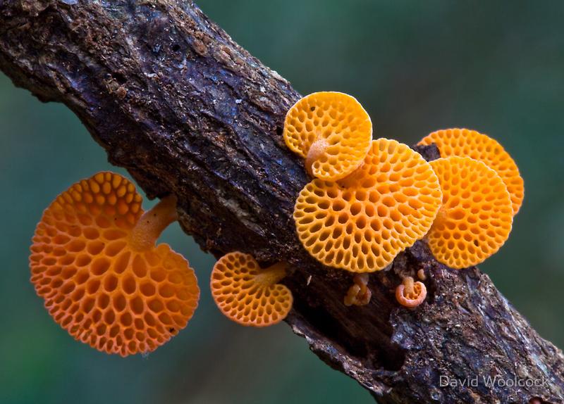 Rainforest FungiLamington NPAustralia By David Woolcock - Photographer captures the beautiful diversity of australias fungi