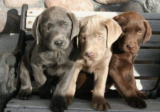 Charcoal Silver And Chocolate Lab Puppies Lab Puppies Puppies Cute Dogs