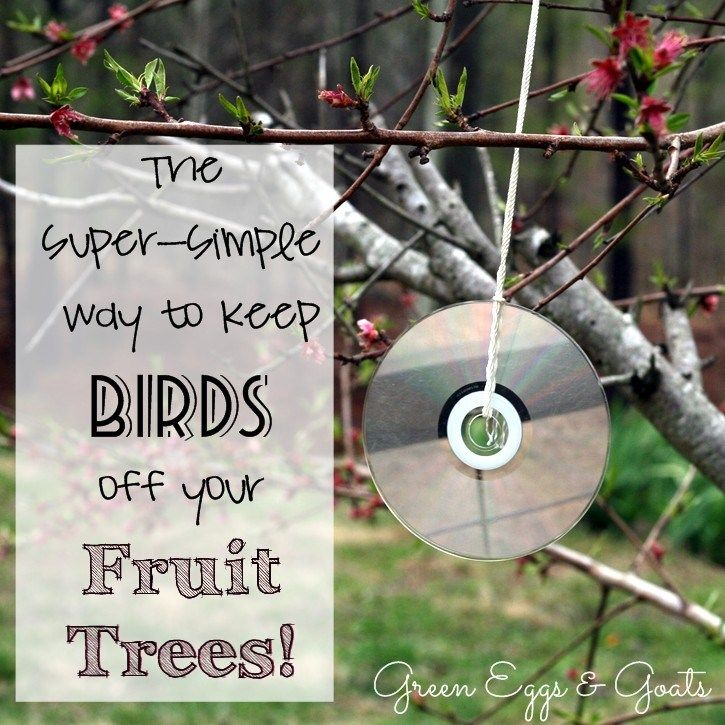 Wow!  This is an easy way to keep birds off my peach trees!  Amazing!