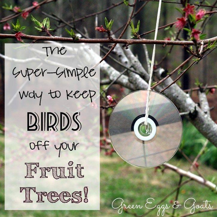 How to keep birds off fruit trees fruit trees fruit
