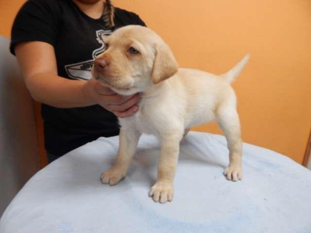 Yellow Labrador Retriever Puppy, Female, Blue Eyes. Shots ...