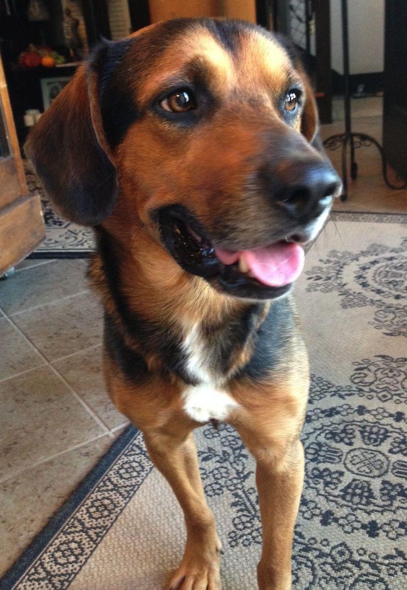 Adopt Mellrich On Dog Breeds Beagle Shepherd Mix Dog Yawning