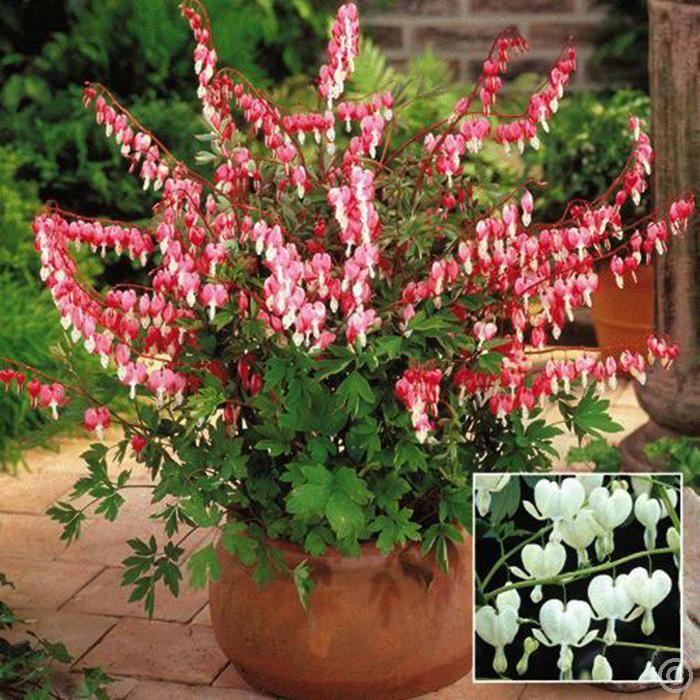 Dicentra Spectabilis Bleeding Hearts Combo 2 Plants Buy Online Order Now Planting Bulbs Garden Shrubs Cottage Garden Plants