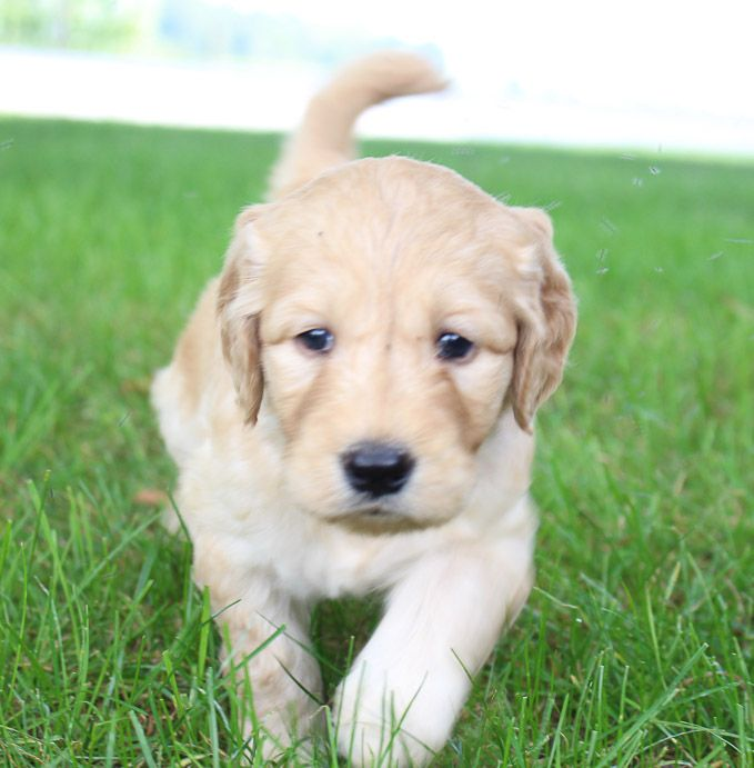 Annie Goldendoodle puppy in New Haven, Indiana