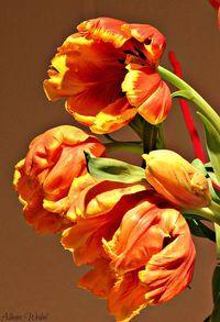 fire tulips....